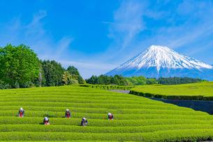 静岡県富士市大淵笹場の茶畑の写真素材 [FYI03388618]