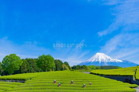 静岡県富士市大淵笹場の茶畑の写真素材 [FYI03388619]