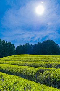 静岡県富士市大淵笹場の茶畑の写真素材 [FYI03388620]