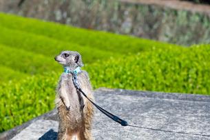 茶畑を散歩中のミーアキャットの写真素材 [FYI03388623]
