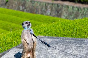 茶畑を散歩中のミーアキャットの写真素材 [FYI03388624]