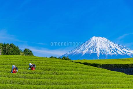 静岡県富士市大淵笹場の茶畑の写真素材 [FYI03388625]