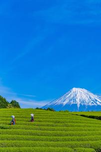 静岡県富士市大淵笹場の茶畑の写真素材 [FYI03388626]