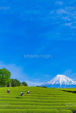 静岡県富士市大淵笹場の茶畑の写真素材 [FYI03388627]