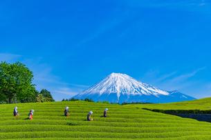 静岡県富士市大淵笹場の茶畑の写真素材 [FYI03388628]