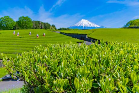 静岡県富士市大淵笹場の茶畑の写真素材 [FYI03388629]