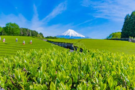 静岡県富士市大淵笹場の茶畑の写真素材 [FYI03388630]