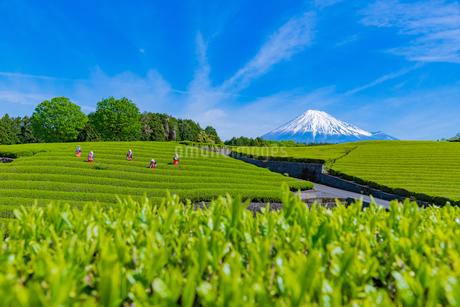 静岡県富士市大淵笹場の茶畑の写真素材 [FYI03388633]