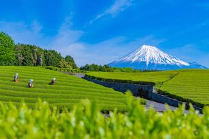 静岡県富士市大淵笹場の茶畑の写真素材 [FYI03388635]