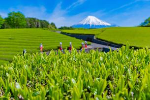 静岡県富士市大淵笹場の茶畑の写真素材 [FYI03388636]