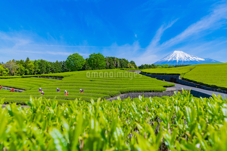 静岡県富士市大淵笹場の茶畑の写真素材 [FYI03388637]