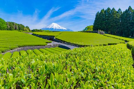 静岡県富士市大淵笹場の茶畑の写真素材 [FYI03388638]