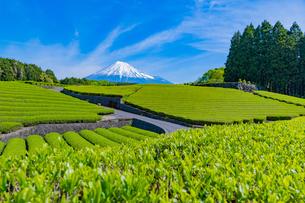 静岡県富士市大淵笹場の茶畑の写真素材 [FYI03388639]
