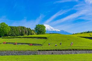 静岡県富士市大淵笹場の茶畑の写真素材 [FYI03388640]