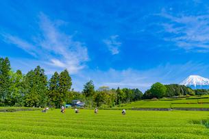 静岡県富士市大淵笹場の茶畑の写真素材 [FYI03388644]
