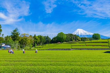 静岡県富士市大淵笹場の茶畑の写真素材 [FYI03388645]