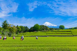 静岡県富士市大淵笹場の茶畑の写真素材 [FYI03388646]