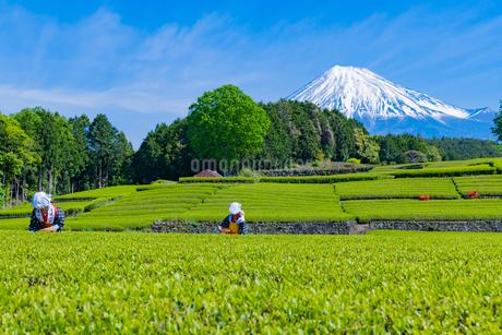 静岡県富士市大淵笹場の茶畑の写真素材 [FYI03388647]
