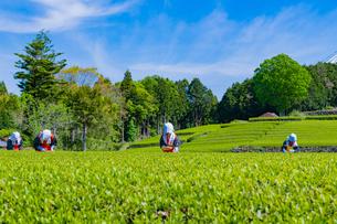 静岡県富士市大淵笹場の茶畑の写真素材 [FYI03388648]
