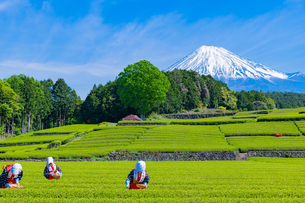 静岡県富士市大淵笹場の茶畑の写真素材 [FYI03388649]