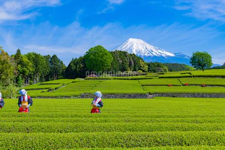 静岡県富士市大淵笹場の茶畑の写真素材 [FYI03388650]