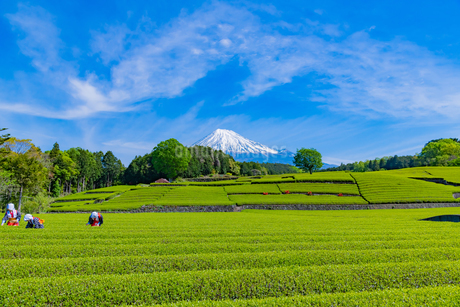 静岡県富士市大淵笹場の茶畑の写真素材 [FYI03388651]