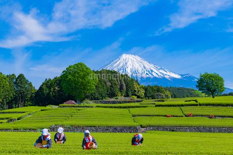 静岡県富士市大淵笹場の茶畑の写真素材 [FYI03388652]