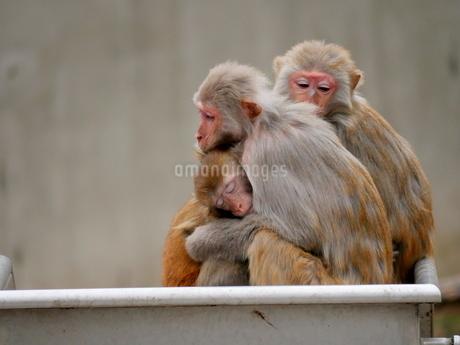 抱き合う親子の猿の写真素材 [FYI03388982]