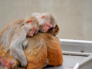 抱き合う親子の猿の写真素材 [FYI03388983]