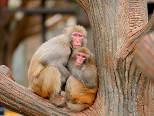 抱き合う親子の猿の写真素材 [FYI03388984]