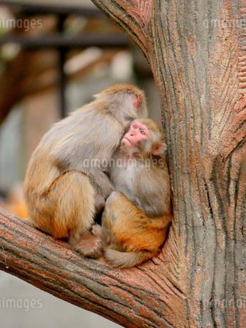 抱き合う親子の猿の写真素材 [FYI03388985]