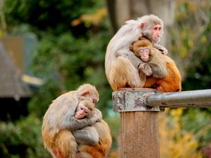 抱き合う親子の猿の写真素材 [FYI03388986]