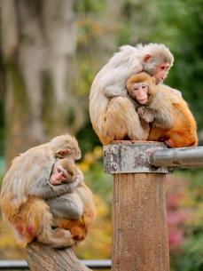 抱き合う親子の猿の写真素材 [FYI03388987]