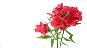 アルストロメリアの花束の写真素材 [FYI03389043]