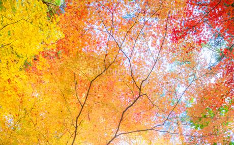 龍安寺の鮮やかな紅葉の写真素材 [FYI03389201]