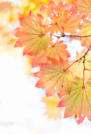 ハウチワカエデの紅葉の写真素材 [FYI03389202]