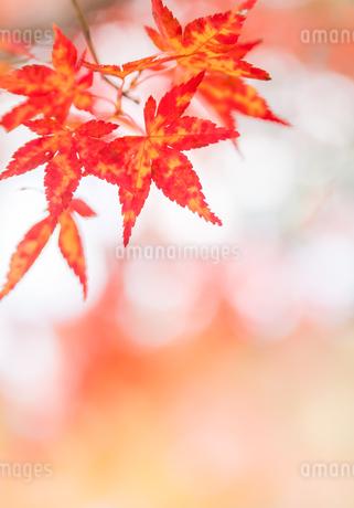 二色のモミジの写真素材 [FYI03389204]