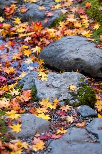 踏み石の上に落ちた色鮮やかなモミジの葉の写真素材 [FYI03389205]