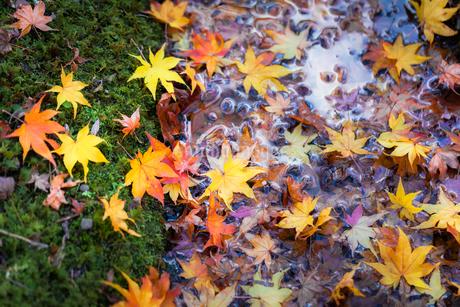 川岸に落ちた色鮮やかなモミジの葉の写真素材 [FYI03389225]