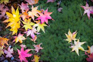 苔庭に落ちた色鮮やかなモミジの葉の写真素材 [FYI03389226]