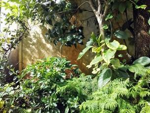 生い茂る緑と葉影のある壁の写真素材 [FYI03389273]