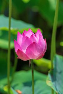 ハスの花の写真素材 [FYI03389553]
