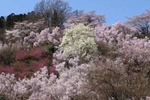 桜 風景の写真素材 [FYI03389905]
