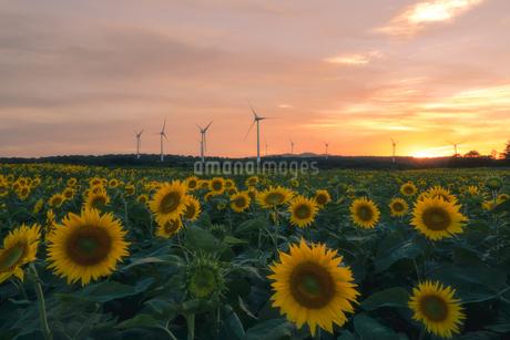 ヒマワリ 風力発電の写真素材 [FYI03389987]