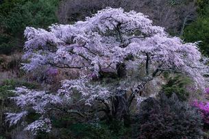 西丸尾のしだれ桜 日本 長野県 上伊那郡の写真素材 [FYI03390004]