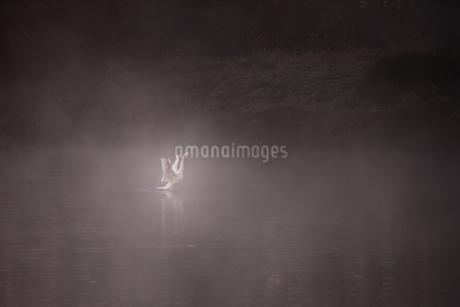 白鳥飛来地・・越辺川の川霧 日本 埼玉県 川島町の写真素材 [FYI03390057]