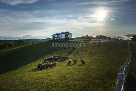 羊と雲の丘 日本 北海道 士別市の写真素材 [FYI03390127]