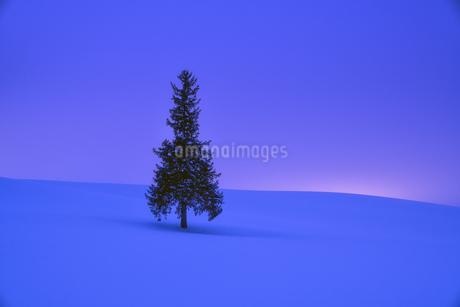 クリスマスツリーの木 日本 北海道 美瑛町の写真素材 [FYI03390231]