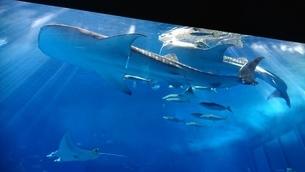 ジンベイザメの写真素材 [FYI03390510]