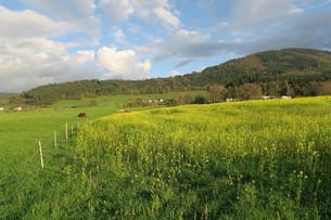 放牧地と菜の花畑の写真素材 [FYI03390525]